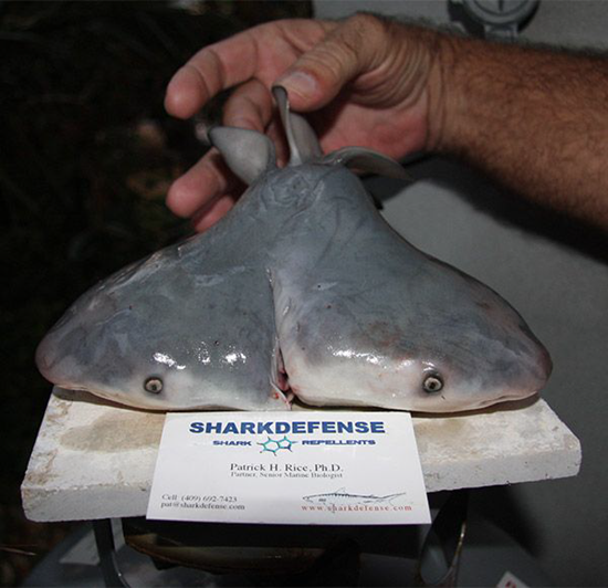 Two-headed Bull Shark found in Gulf Of Mexico (April 7, 2011)