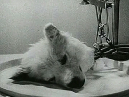 "A surviving ""head"" in one of Vladimir Demikhov's experiments"