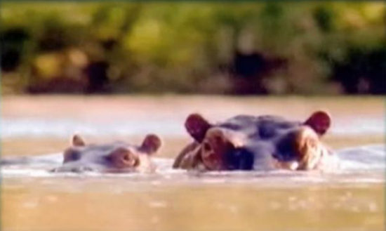 Danerous Hippos are territorial and kill more humans each year in Africa than any other wildlife