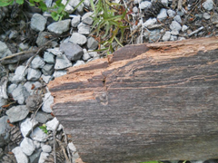 Piece of wood presumed to be remains of Ape Canyon cabin