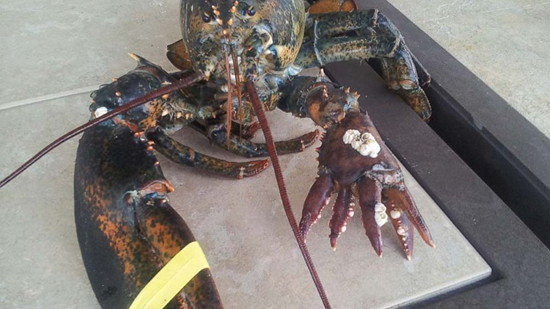 Lola, the six-clawed lobster has five human-like fingers on her left arm