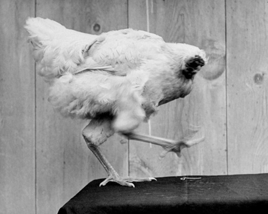 Mike the Headless Chicken (Miracle Mike)