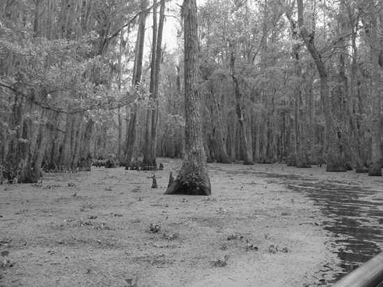 Louisiana swamps - home of Bigfoot?