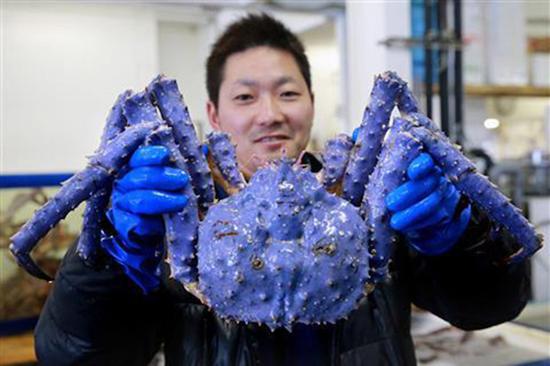 Mutant lavender/blue colored crab caught off coast of Russia