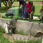 Wardens load the man-eating crocodile onto a flatbed truck