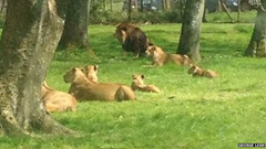 Lions inside Longleat Safari Park never took their eyes off of the smoking car