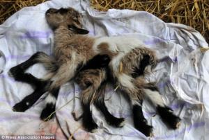 "Eight-legged ""Octogoat"" – goat born in Croatia has eight spider-like legs"