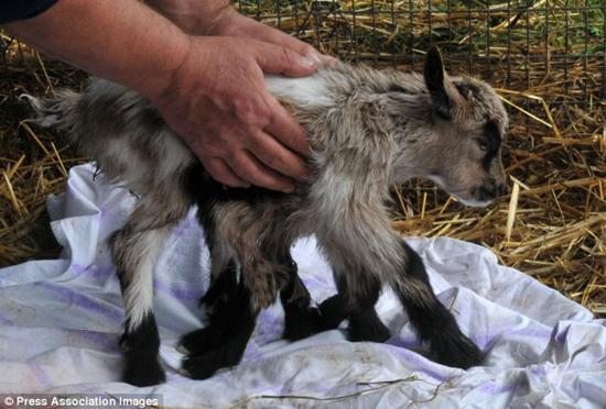 Octogoat - Croatian goat born with eight legs
