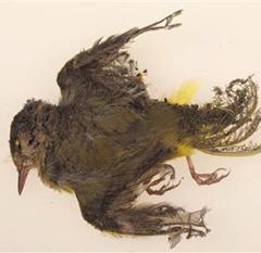 """Solar power plant """"streamer"""" victim - dead bird burnt while flying over solar panels"""
