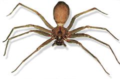 Dangerous brown recluse spider