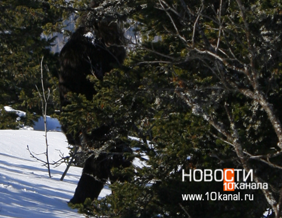 Siberian Bigfoot photo from 2011