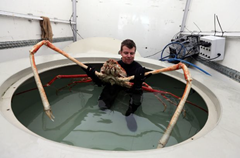 The Japanese Spider Crab can grow to 12-foot or larger