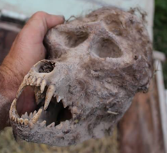 Close-up view of the werewolf skull found by farmed buried in chained box