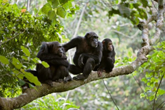 Gombe Chimp War gathered steam - groups of Kasakela launch lethal raids in the Kahama territory