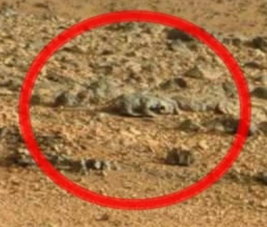 Closeup of lizard with long tail found in Martian photograph