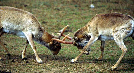 70% of of the world's Saiga antelopes mysteriously drop dead within two-week period – scientists unable to determine cause