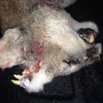 Deformed mountain lion with fully-formed teeth and whiskers growing out back of head discovered in Idaho