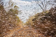 Locust plague