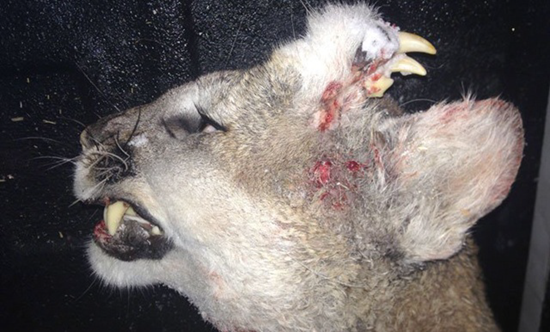Deformed mountain lion with teeth growing out the back of his head discovered in Idaho