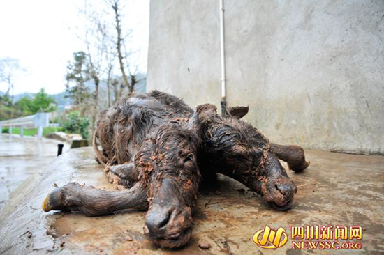 Cow gives birth to two-headed calf in China