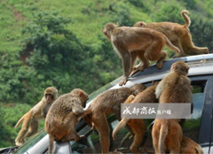 Chinese town's failed tourist plan causes village to be overrun with hundreds of wild monkeys