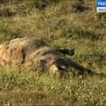 Leaked photos show dead reindeer in the Yamal-Nenets district of northwest Siberia, Russia