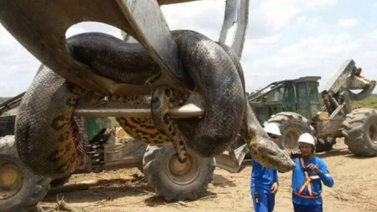 Mammoth 33-foot long Giant Anaconda snake discovered in Brazil