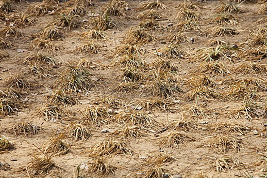 Heat damaged crops