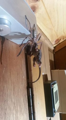 Huge Australian huntsman spider eating a possum